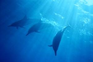 Mystical Dolphins